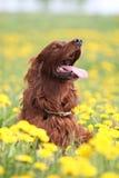 Irischer Setter in den Blumen Stockfotos