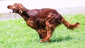 Irischer Setter, der auf Gras läuft Stockbilder