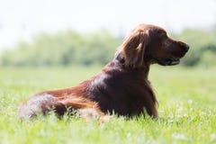 Irischer Setter, der auf Gras sitzt Lizenzfreies Stockfoto