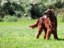 Irischer Setter, der auf Gras steht Stockfotografie