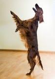 Irischer Setter, der am Wohnzimmer spielt Stockfoto