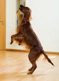 Irischer Setter, der am Wohnzimmer springt Stockbilder
