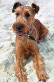 Irischer Terrier Stockbild
