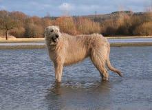 Irischer Wolfhound Stockbild