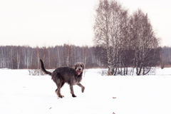 Irischer Wolfhound Stockfoto