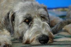 Irischer Wolfhound Stockfotos