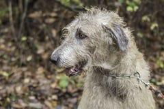 Irischer Wolfhound lizenzfreie stockfotos
