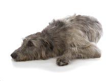Irischer Wolfshund Stockfoto