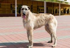 Irischer Wolfshund im Profil Stockfotografie