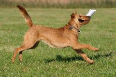 Irisches terrier Lizenzfreie Stockbilder