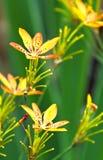 Irisdomestica Royalty-vrije Stock Afbeeldingen