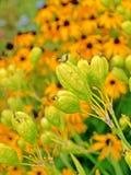 Irisdomestica Arkivfoton