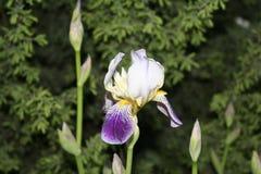 Irise en parc image libre de droits