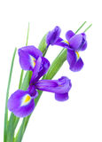Irise flowers posy. Irises flower posy  isolated on white background Stock Photos