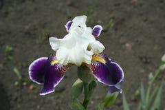 Irise im Garten Stockfoto