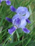 Irise im Garten lizenzfreies stockfoto