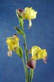 Irise la flor Fotografía de archivo