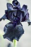 Irise la flor con los pétalos negros, púrpura oscura Imagen de archivo