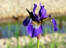 Irise stock image