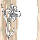 Irise tirado mão do vintage Fotos de Stock Royalty Free