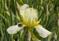 "Irises †""schöne dekorative Blumen Stockfoto"