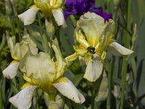 """Irises †""""schöne dekorative Blumen Lizenzfreies Stockbild"""
