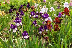 irises пурпур Стоковое фото RF