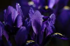 irises пурпур Стоковые Фото