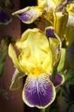 irises Royaltyfria Bilder