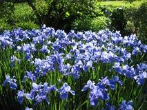 Irises 2. Filed of irises Stock Image