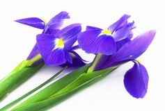 Irises Stock Photos