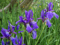 Irises Royaltyfria Foton