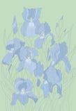 Irises Arkivbild