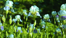 Free Irises Stock Images - 37440374