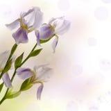 irises Arkivfoton