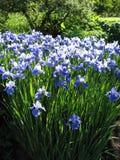 Irises. In bloom stock photography