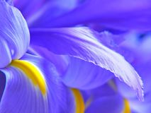 Irises stock images