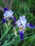 irises Fotografering för Bildbyråer