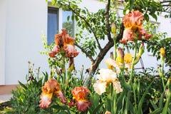 Irises bärtiges im Garten Stockbild