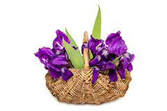 Irises in a basket on a white background Stock Image