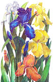 Irises batik pattern on a white background Royalty Free Stock Image