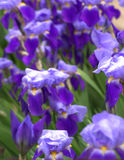 Irises Stock Photography