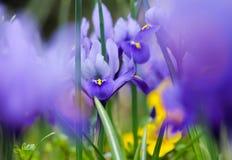 Irises. Beautiful purple Iris with blurred garden background stock image