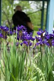 Irises blooming in a botanical garden on bright sunny summer day Stock Image