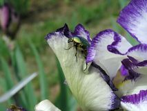 Irises blossoming in a garden, Giardino dell' Iris in Florence Royalty Free Stock Photos