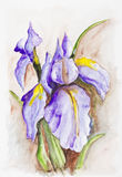 Irises blue flowers on brown Royalty Free Stock Image