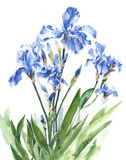 Irises blue garden spring flowers watercolor painting illustration isolated on white background. Irises blue garden spring flowers watercolor painting royalty free illustration