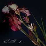 Irises Blumenstrauß stilisiertes Design auf dunklem Hintergrund Stockfoto