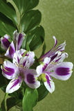 Irises Royalty Free Stock Photography