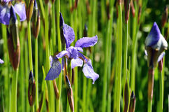 Irises flowering in the meadow Royalty Free Stock Photography